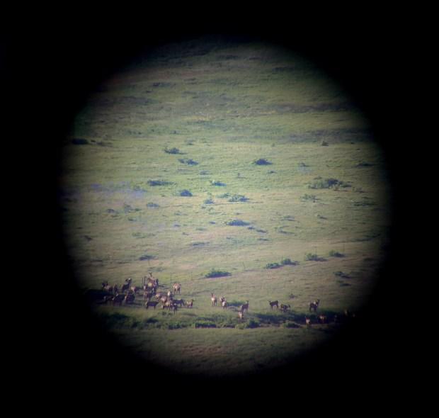 A herd of elk is seen ...