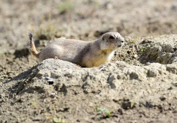 Prairie Dogs are seen near 55th ...