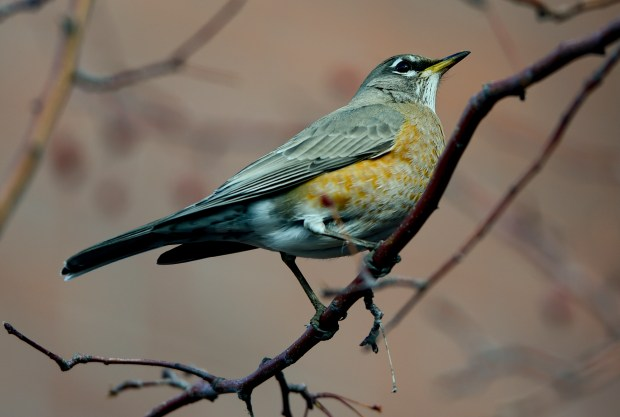 American Robin in Boulder on Jan. ...