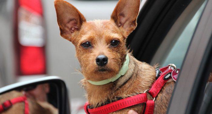 Dog in a car - small dog - dailycarblog.com