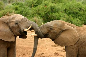 English: Elephant mating ritual (No. 2 in a se...