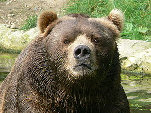 Ursus arctos middendorffi /kodiak bear/ Kodiakbär (Photo credit: Wikipedia)