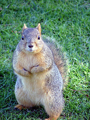 Not a Grey Squirrel..lol, or English..come to that..:O)
