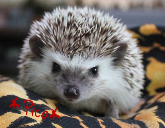 Pico the Hedgehog