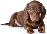 dachshund laying on the floor