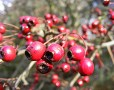 Hawthorn Berry Dosage