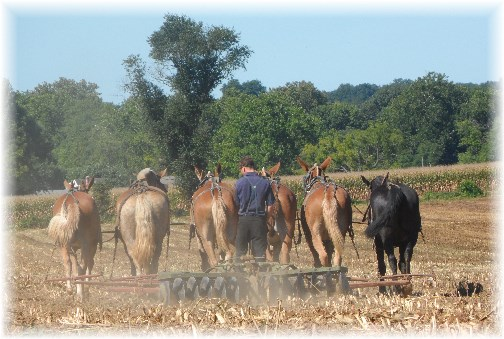Amish fall cultivation