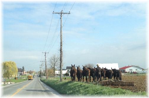 Amish seven mule tilling team near Bird In Hand PA 4/23/15