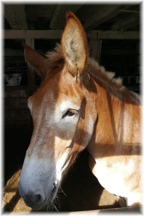 Amish team horse 9/2/16