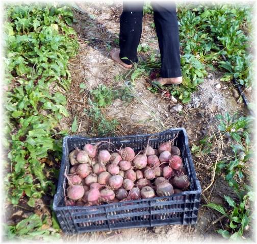 Amish beet harvest 9/10/13