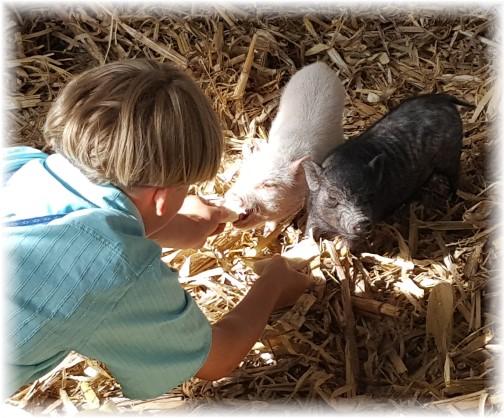 Eli James feeding baby pigs 6/8/17