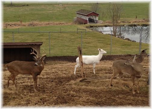 Deer at Oregon Dairy 12/28/14