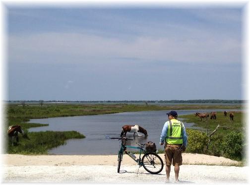 Assateague Island wild horses 6/8/15