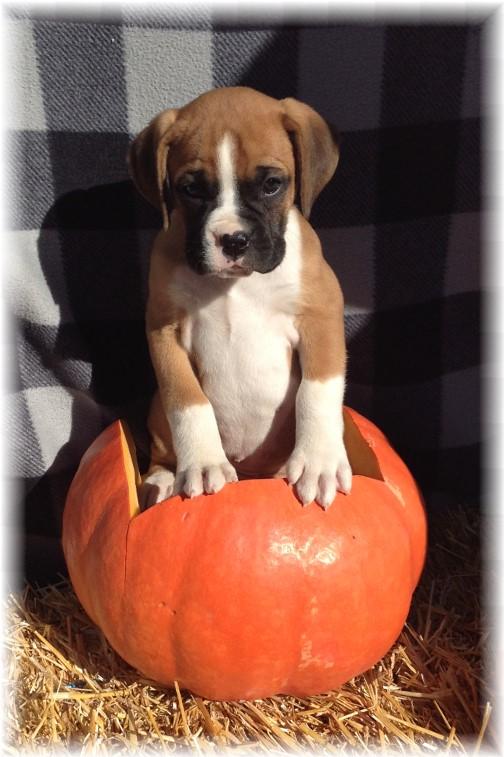 Boxer pup 10/23/15