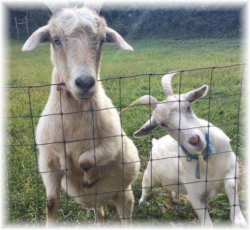 Curious goats along York Heritage Rail Trail 9/8/15