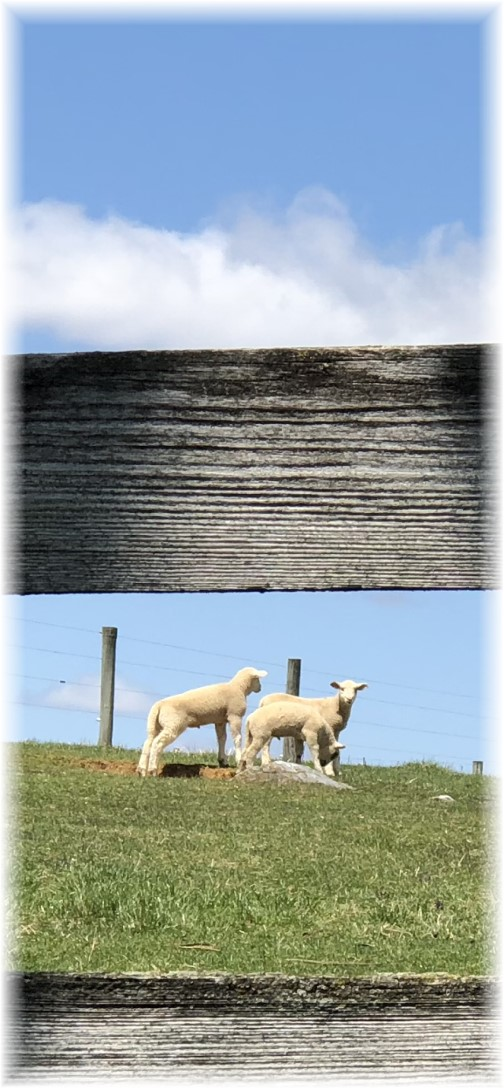 Flory Road lambs 4/20/18