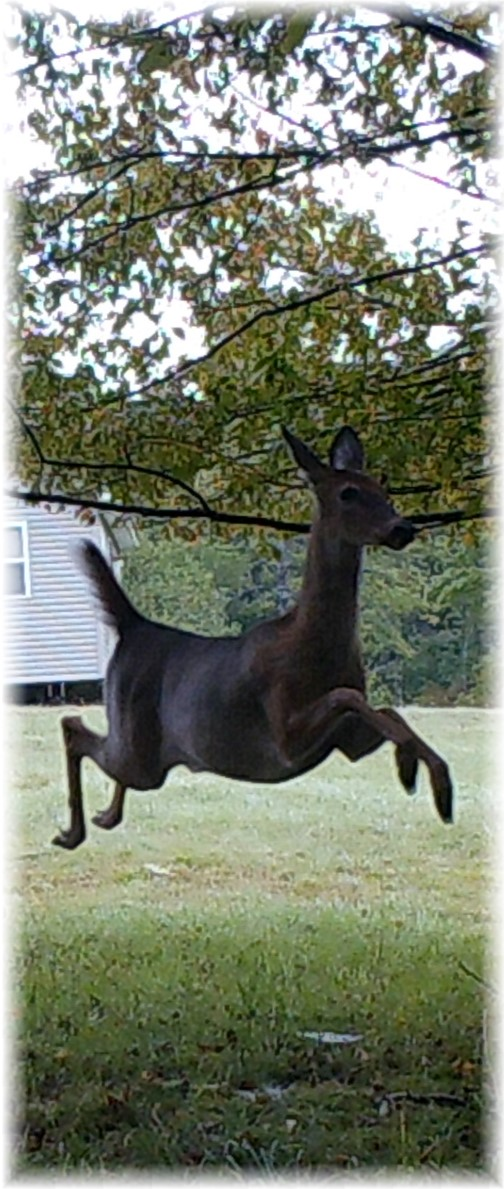 Leaping deer in Potter County 9/1/17 (Phil Huber's trail camera)
