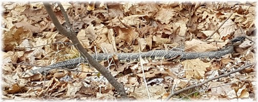 Rattlesnake on Lehigh Gorge rail trail 4/23/16