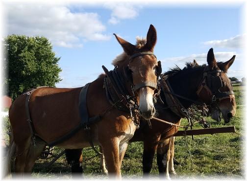 Old Windmill Farm team mules 9/9/17