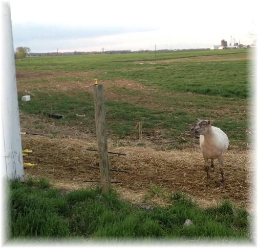 Sheep shearing at Rutt farm 4/21/15