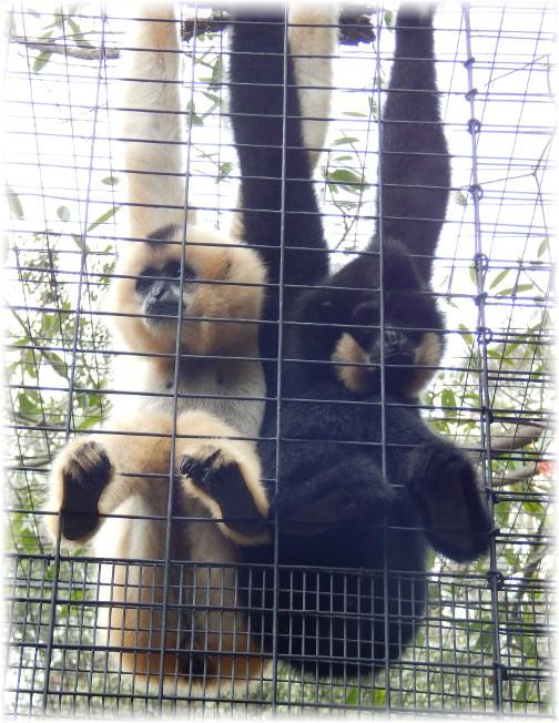 San Diego Zoo black and white monkeys 10/24/16