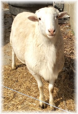 Sheep 3/16/14