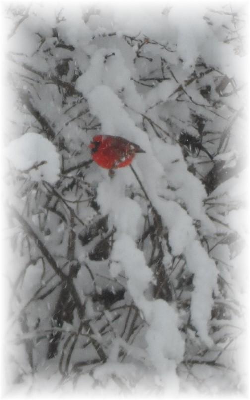 Cardinal in snowy tree 2/4/14