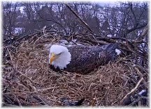 Eagle nest (Image courtesy of Pennsylvania Game Commission, HDOnTap and Comcast Business)