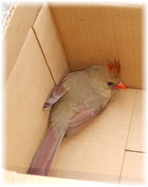 Female cardinal being released from box