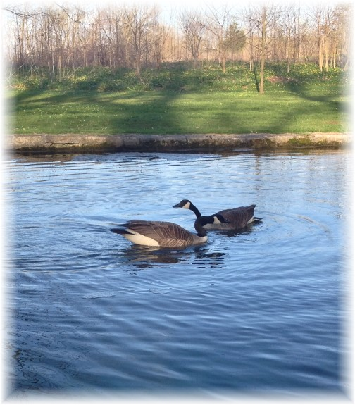 Geese couple 4/20/14