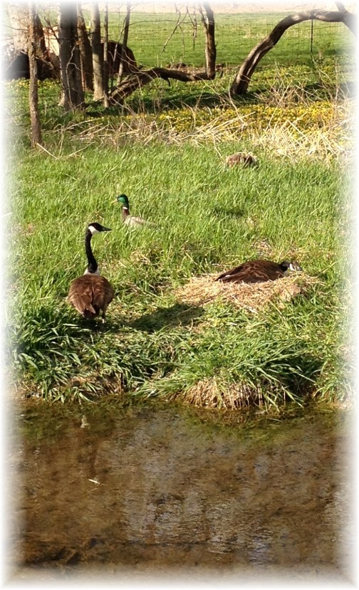 Nesting Geese couple 4/27/15