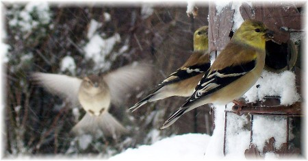 Goldfinches in snow (click for larger view)