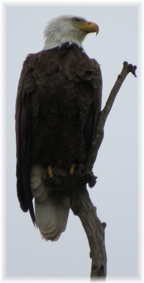 Lebanon County bald eagle 5/17 (Janice Martz)