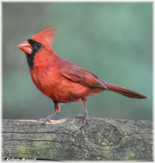 Cardinal (Photo by Robyn Waugh)