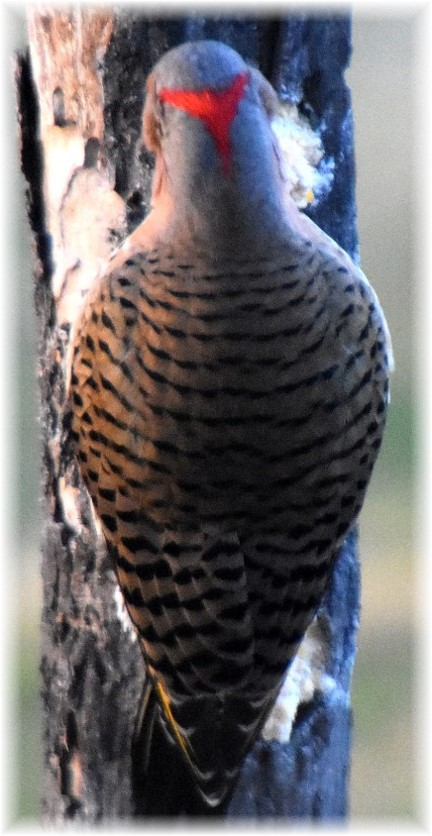 Northern Flicker (photo by Doris High)