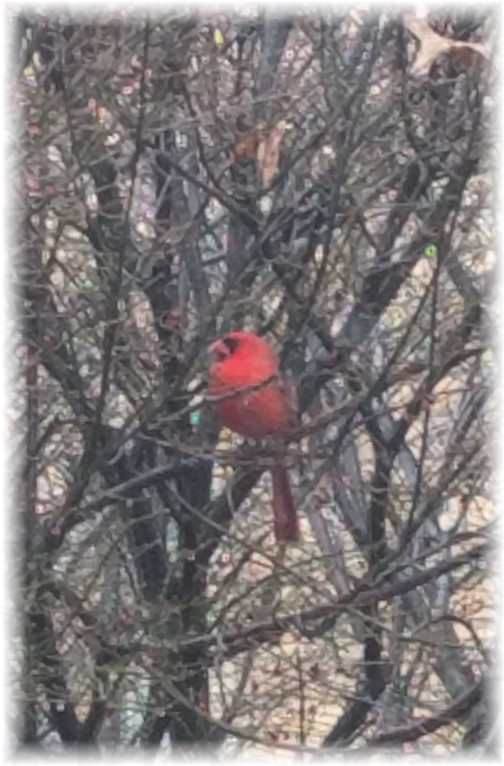 A plump male cardinal in leafless tree (Photo by Randy Martens)