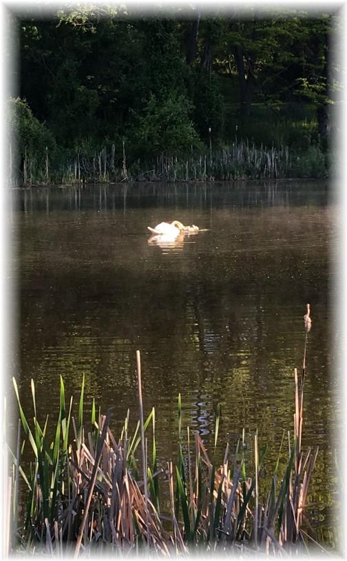 Swan family 5/9/17