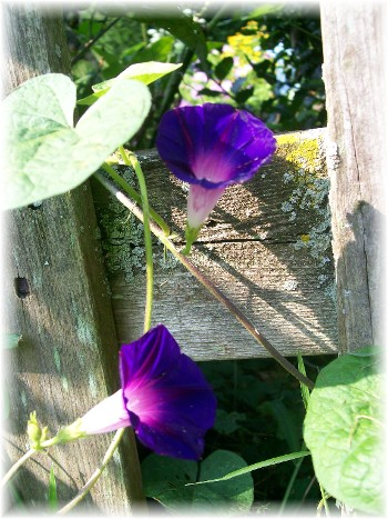 Morning glory growing on other side of fence
