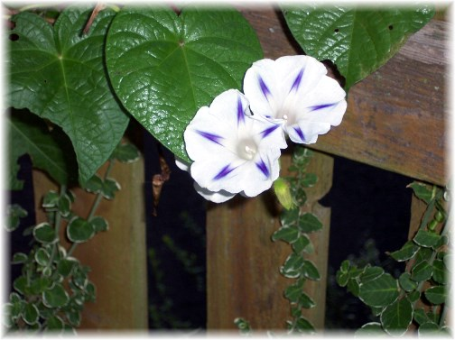 Morning glory on fencepost