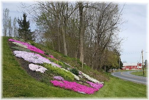 Phlox flowers, Lebanon County 4/19/16
