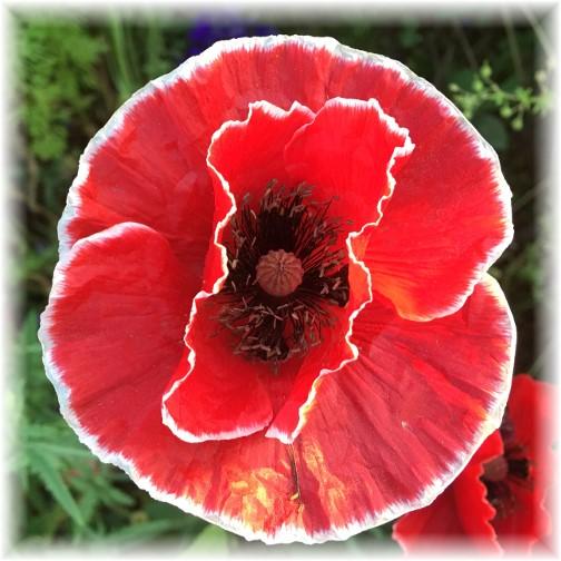 Poppy flower bloom 6/18/17