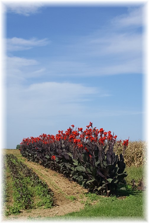 Cannas on Shirk Road 9/21/17