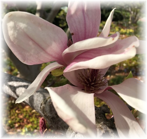 Washington Magnolia blossoms 3/25/16