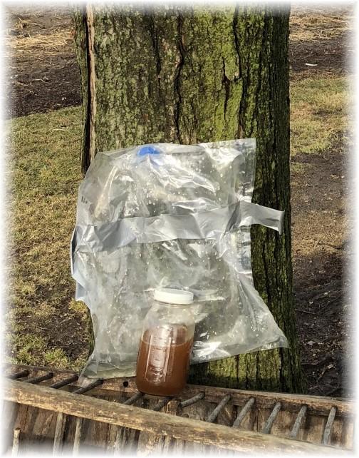 Maple sap collection 2/15/18