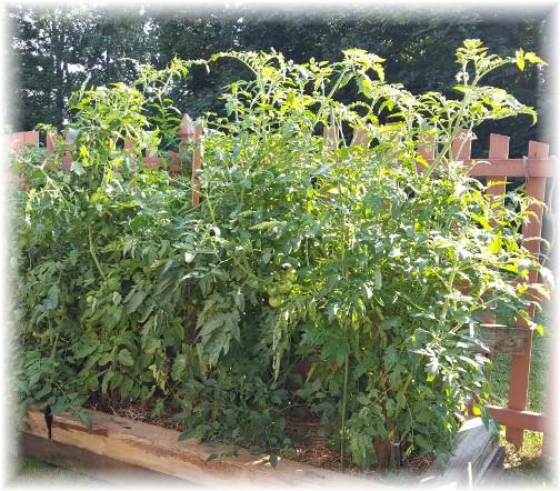 Tomato plants 7/19/17