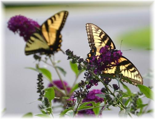 Monarch butterflies (Photo by Doris High)