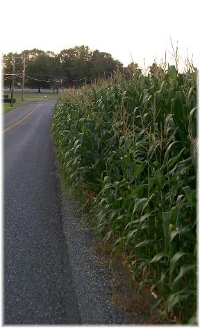 Corn close to road 7/29/10