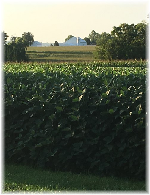 Kraybill Church Road soybeans 8/13/17 (Photo by Brooksyne)