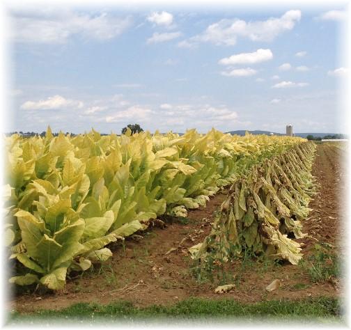 Lancaster County tobacco crop 8/14/14