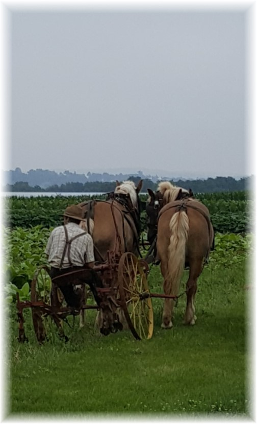 Old order Mennonite field work 7/27/17